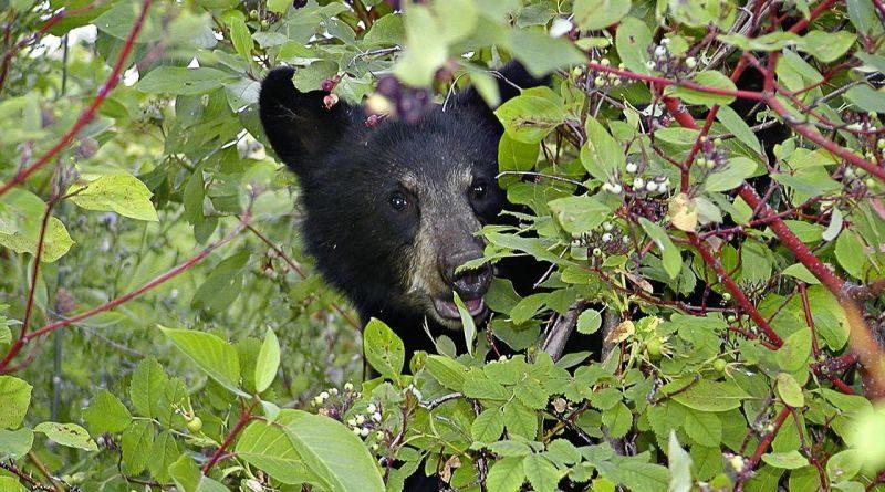 野生黑熊可能因無人機而飽受壓力