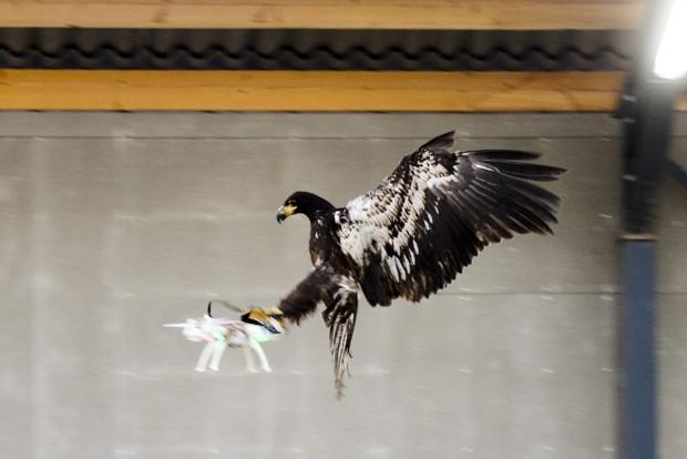 荷蘭警察訓練鷹去捕捉無人機,成為一時話題。