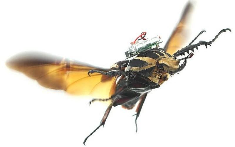 遙控甲蟲飛行中,背上的零件把無線電訊號轉為電流,刺激甲蟲活動,變相遙控操作。