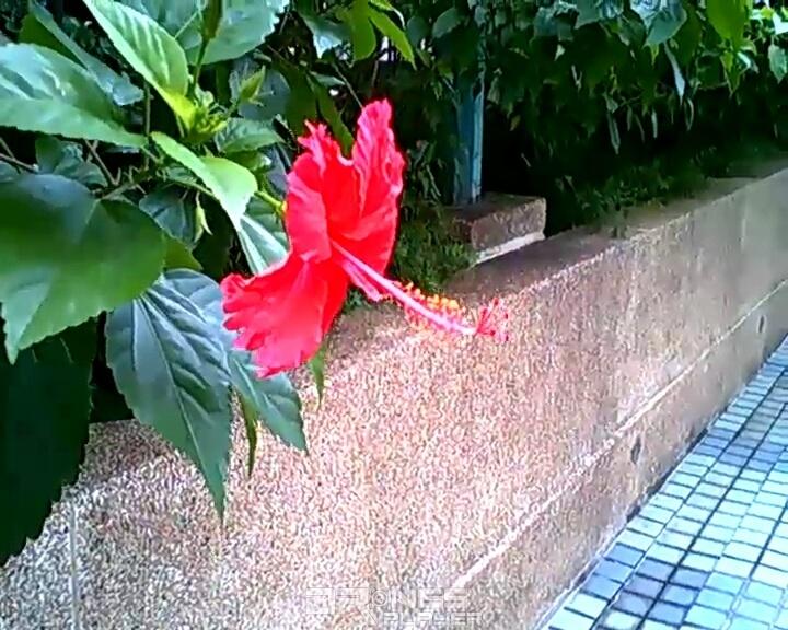 Cheerson CX10WD-TX 近攝公園花卉,花朵的紅色明顯過濃,葉面上的紋理亦不夠清晰。