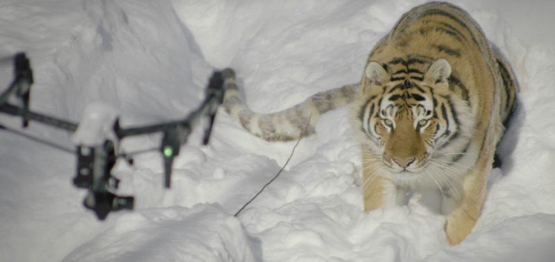 老虎與航拍機地對空對峙。