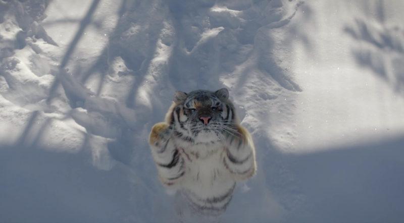 老虎最後不耐煩,飛撲向航拍機,但最後落空。