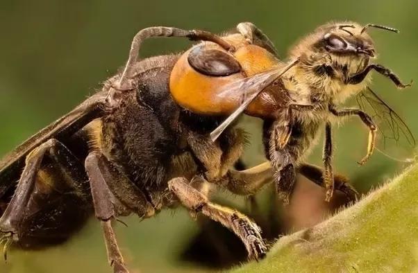 黃腳胡蜂正屠殺蜜蜂。
