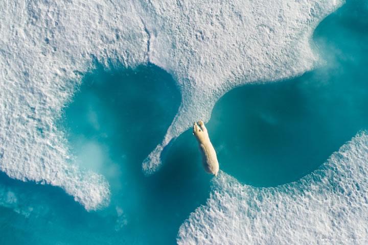 北極熊穿越兩塊海冰之間。(作者:Florian Ledoux)