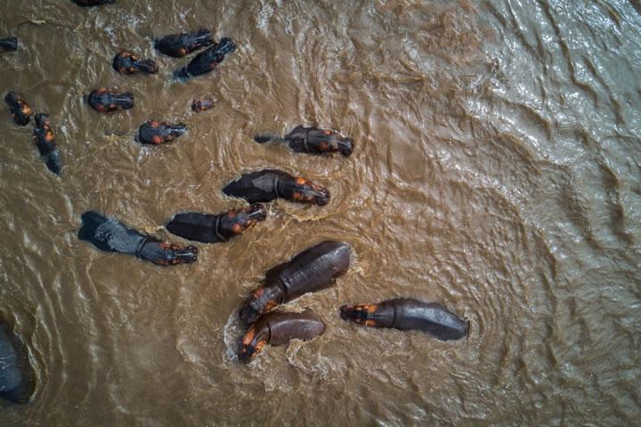 塞倫蓋蒂國家公園的河馬。(作者:yannick68)