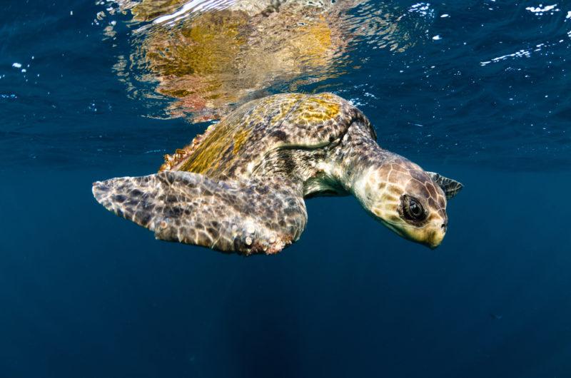 欖蠵龜已被國際自然保護聯盟 (IUCN)列為「易危品種」。