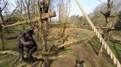 黑猩猩揮低無人機