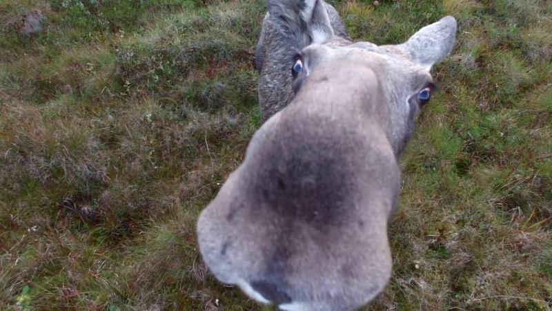 麋鹿非常接近鏡頭