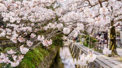 京都哲學之路櫻花