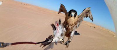 杜拜 隼 無人機 狩獵