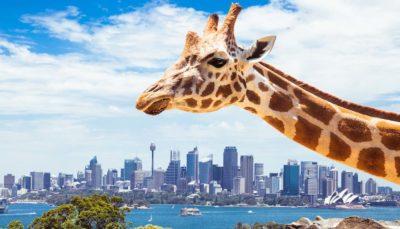 悉尼 動物園 無人機 AR