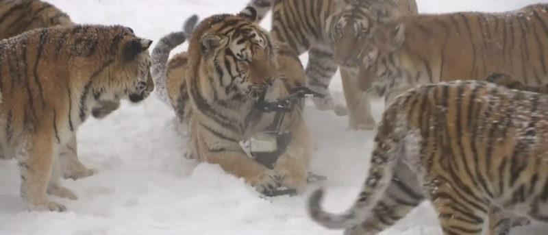 疑似中國老虎農場內的東北虎