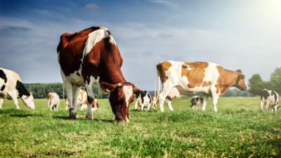 父子檔試用無人機牧牛 初嘗無人機放牧