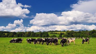 北海道牧場不速之客讓乳牛起哄 無人機空拍浣熊單挑牛群