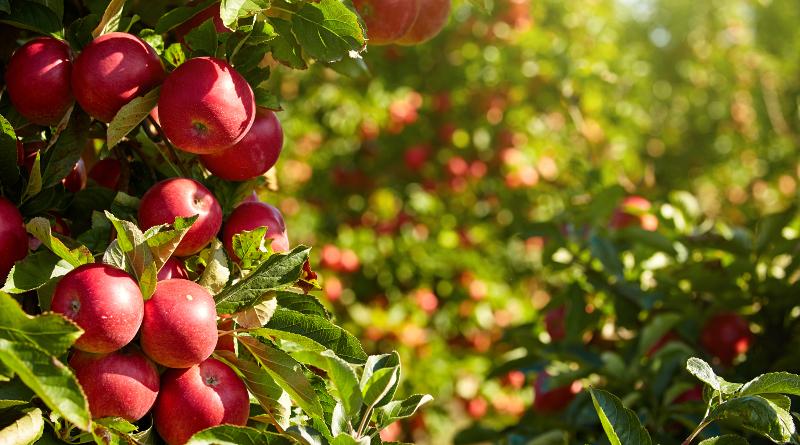 無人機助果園花粉傳播 農田水果產量上升 50%
