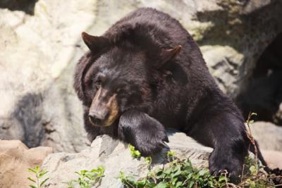 黑熊 4 周內對航拍機感習慣 最新研究:動物或會適應無人機存在