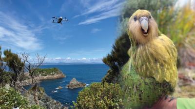 快! 科學家以無人機運送瀕危鴞鸚鵡精液 人工受孕助保育