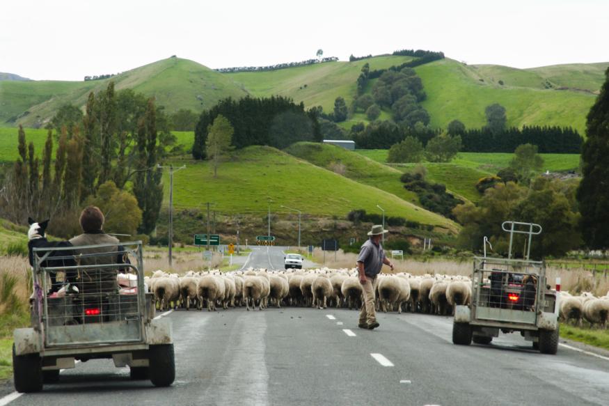 無人機助新西蘭農民放牧 既省時又可定位羊群