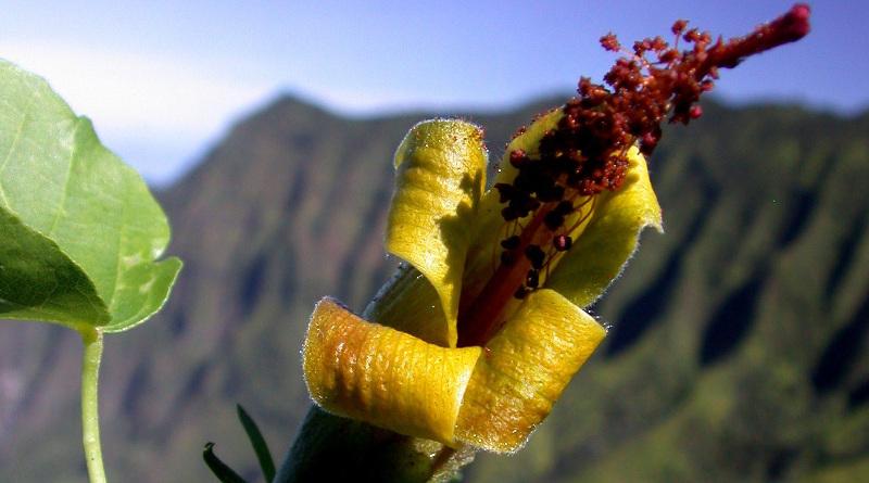 無人機飛越夏威夷懸崖峭壁 尋獲絕種植物