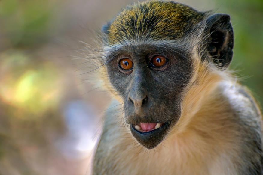 綠猴本只對蛇豹發出威脅呼叫 初見無人機竟叫出近親對鷹之警報