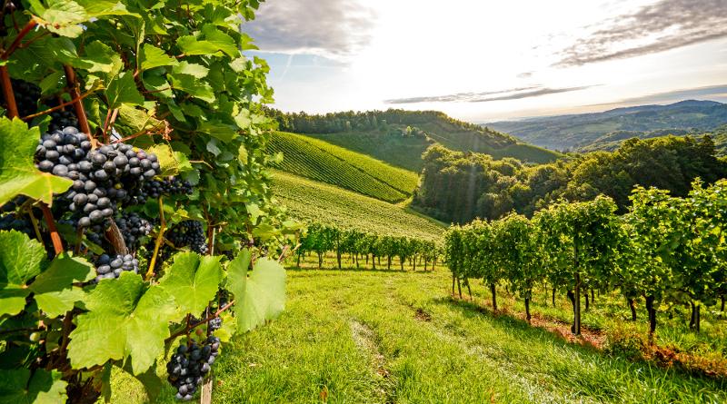 葡萄成熟時 酒莊起用無人機巡視莊園
