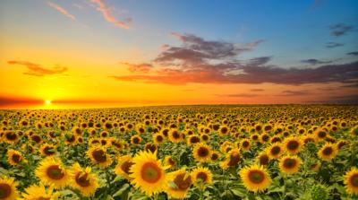 日本 10 萬朵向日葵盛放 兩週期間限定絕美景色開放空拍