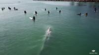 好奇鯨魚寶寶游好奇鯨魚寶寶游向衝浪客噴水擺尾 航拍紀錄珍貴時刻向衝浪客噴水擺尾 航拍紀錄珍貴時刻