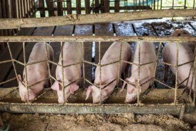 大陸不法商販用無人機散播豬瘟病毒 誘豬農低價出售生豬牟利