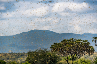 蝗蟲壓境! 雲南 20 架無人機待命防控 植保機「滅蝗」成效?