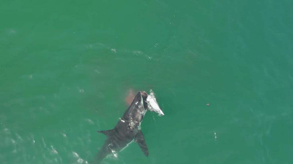 航拍直擊海洋世界的弱肉強食 大白鯊輪流噬食海豚屍體