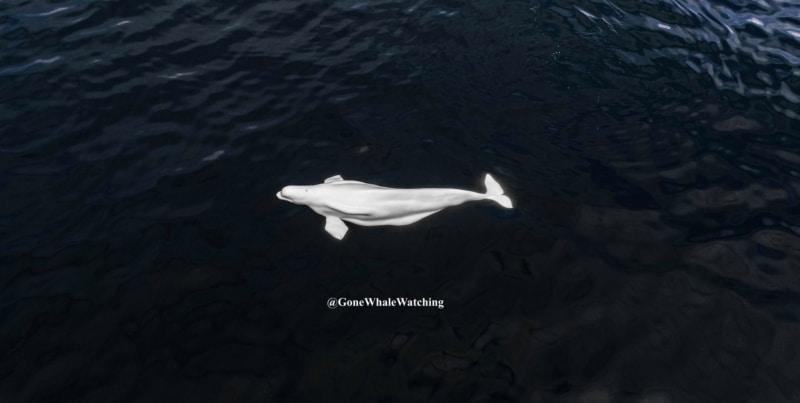航拍加州水域罕有出現白鯨 被懷疑是俄國動物「間諜」