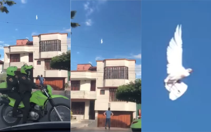 白鴿展翅「定格」半空 途人嘖嘖稱奇 有可能是仿生無人機嗎?