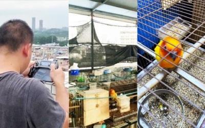 廣州男自家天台飼養出售瀕危金太陽鸚鵡 被警用無人機搗破